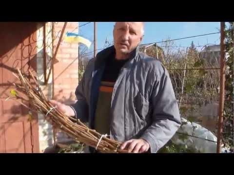 Виноград Заготовка и хранение виноградных черенков