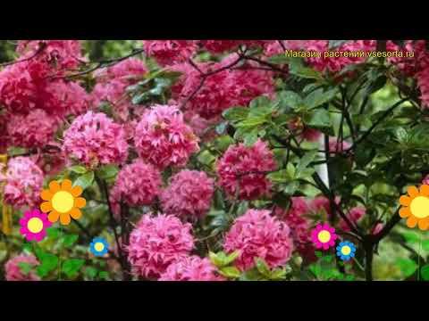 Азалия гибридная Хоумбуш. Краткий обзор, описание характеристик azalea knap hill Homebush