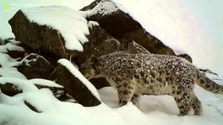 ID2852/Центр по изучению снежного барса/Бурятия/Ирбис - барс снежный