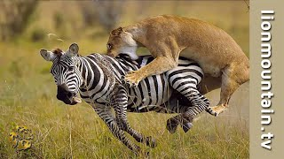 Lioness stalking and hunting migrating Zebra herds on the Masai Mar...
