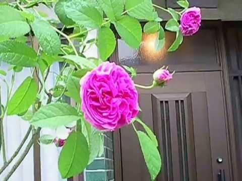 charles de mills the old rose japan youtube. Black Bedroom Furniture Sets. Home Design Ideas