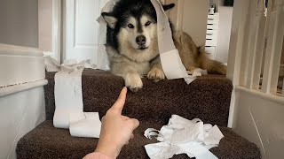 NAUGHTY NIKO DESTROYS THE LAST OF OUR TOILET PAPER THATS SOLD OUT EVERYWHERE