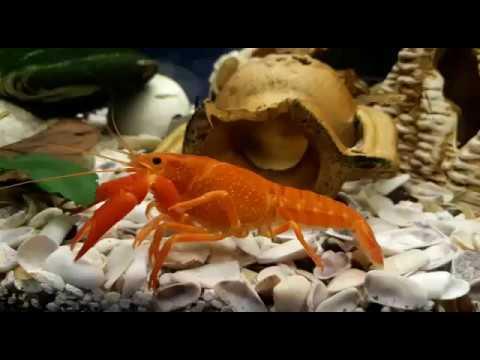 Красный флоридский рак в общем аквариуме