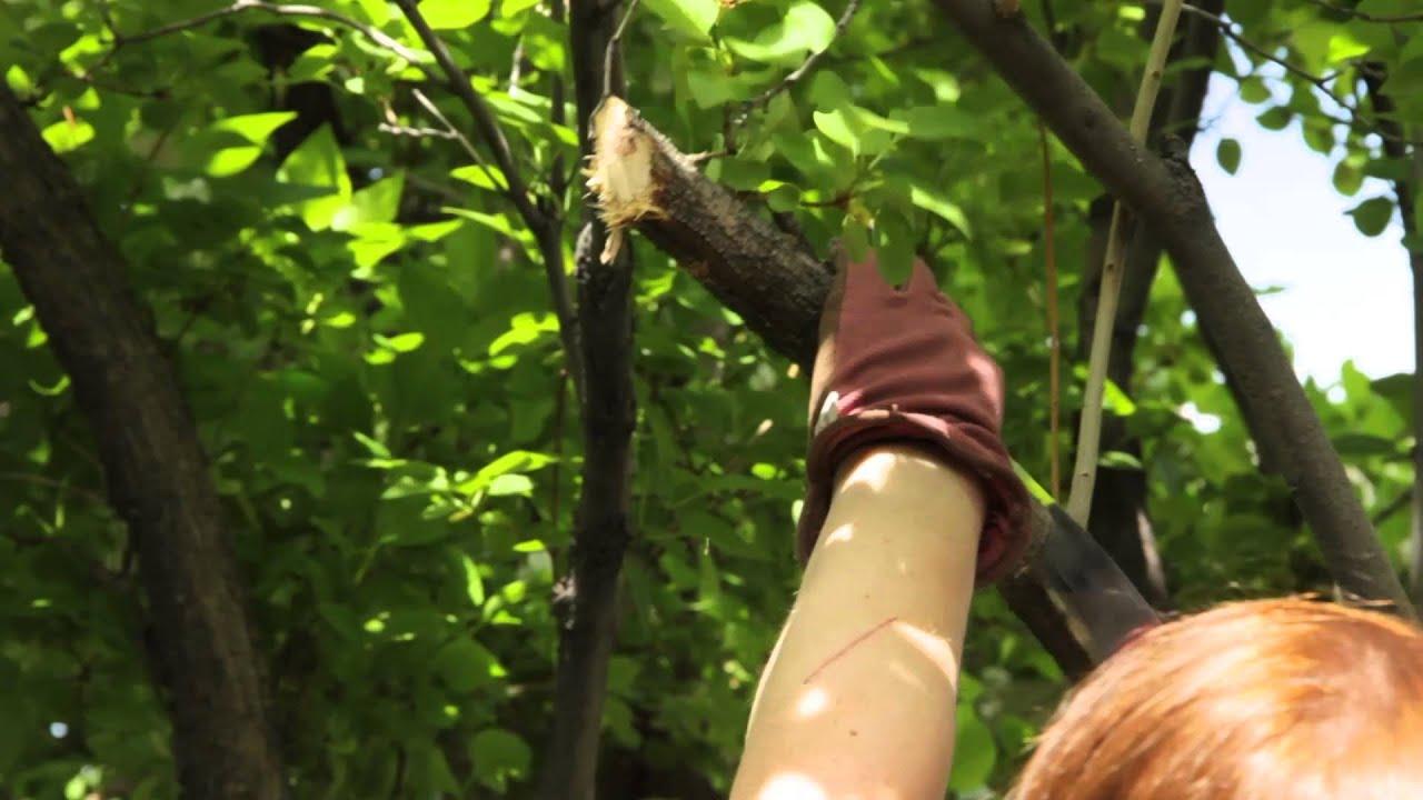 How To Prune Old Wood On A Lilac Bush Grow Guru Youtube