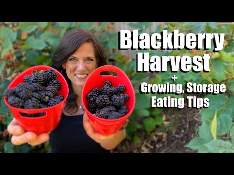 blackberry-harvest,-growing-tips-and-our-favorite-way-to-eat-them-😋