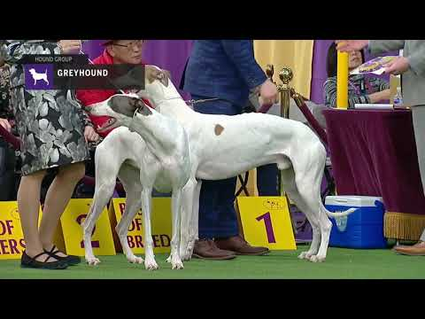 Greyhounds | Breed Judging 2019