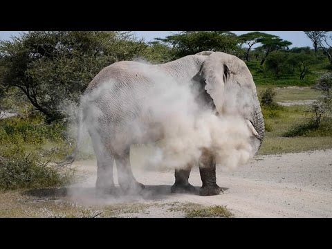 Safari - Powdering Elephant in Serengeti