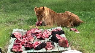 Львица и мясо