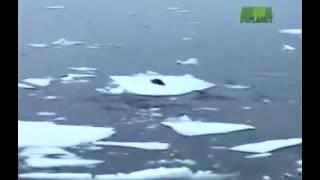Хищные киты касатки охотятся на тюленя
