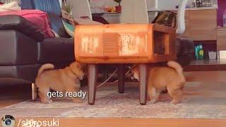 dey-stincc-dey-stalcc-as-dey-do-der-wobbly-walcc-shiba-inu-puppies-with-captions