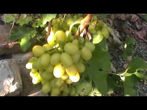 Сорт винограда Сфинкс — описание