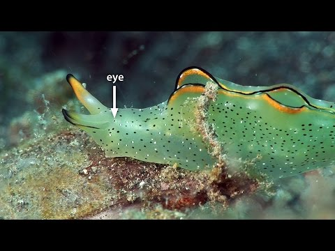 "Sap-sucking slugs, headshield slugs, sea hares & polyclad flatworms. Part 20 of my documentary, ""Mucky Secrets"", about the fascinating marine creatures of the Lembeh Strait in Indonesia. Watch the full 90-minute documentary at http://www.youtube.com/watch?v=nJMZ6reOB0E  The sap-sucking slug (Sacoglossa, sacoglossan) Elysia sp. is not a nudibranch. It does not have gills as such but breathes through two leafy flaps called parapodia that run most of the length of its body. The rhinophores on its head have a semi-tubular form. It feeds by sucking the fluid from green algae, and the chloroplasts it contains give the body a bright green colour which fades if the slug goes short of food. Behind the rhinophores it has tiny photo-receptors for eyes. The white spots are raised glands that can secrete a repellent white substance.  Headshield slugs (family Aglajidae, superfamily Philinoidea, clade Cephalaspidea) lack tentacles and most retain a small thin internal shell. They also have parapodia, which are wrapped up and around the body. Many excrete mucous to help them burrow into the substrate, and the headshield prevents sand entering the mantle cavity. The Gardiner's headshield slug (Philinopsis gardineri) feeds on polychaete worms. And the pleasant headshield slug (Chelidonura amoena) feeds exclusively on acoel flatworms that infest hard corals and sponges. Small, dark eyespots on the front of its head give it very primitive vision.  Like the striated frogfish, the ragged sea hare (Bursatella leachii) is camouflaged with long papillae that help it disappear on a seabed strewn with algae. Sea hares (family Aplysiidae, superfamily Aplysioidea, clade Aplysiomorpha) get their name from the overall body shape and the long pair of rhinophores on the head, which are tubular, and give it an acute sense of smell. It also has a second pair of tentacles at the sides of the mouth and it gobbles up the thin layer of cyanobacteria that coats the seabed. Below the rhinophores it has a pair of tiny eyes. If it is disturbed it can release a noxious mixture of white opaline and purple ink. Recent research has shown that this sticks to the antennae of predators such as lobsters and dulls their senses. The bright blue eyespots covering the body are more vivid here than in populations in other parts of the world.  Ragged sea hares and the similar but smaller long-tailed sea hare (Stylocheilus longicauda) sometimes form huge swarming aggregations comprising hundreds or even thousands of individuals of varying size. They tumble over each other, devouring cyanobacteria and defecating as they stampede across the sea floor. In an aggregation they are an easy target for predators. Pufferfishes and predatory sea slugs have been seen to pick them off one by one. They breed quickly and have even been sold into the aquarium trade as ""sea bunnies"" for eating unwanted algae and providing food for other tank inhabitants with their larvae. It is said that inhabitants of some of the Cook Islands and Austral Islands collect and eat swarms of these sea hares, discarding the toxic internal organs. It is a mystery why sea hares aggregate like this. They have been observed to all mate, spawn and die at the same time.  Although they resemble sea slugs, polyclad flatworms (Polycladida) are quite different. The ruffled periphery of the glorious flatworm, Pseudobiceros gloriosus, forms a pair of pseudotentacles reminiscent of nudibranchs' rhinophores. Occasionally flatworms leave the seabed to swim and when they do, they are a spectacular sight.   There are English captions showing either the full narration or the common and scientific names of the marine life, along with the dive site names.  Thanks to Chris Zabriskie (http://chriszabriskie.com) for the music track, ""Air Hockey Saloon"" and to Purple Planet (http://www.purple-planet.com) for the music, ""Mountain Breeze (pad)"". These tracks are licensed under a Creative Commons Attribution 3.0 Unported license.  Thanks to the staff and keen-eyed divemasters of Two Fish Divers (http://www.twofishdivers.com), for accommodation, diving services and critter-spotting.  I have more scuba diving videos and underwater footage on my website at: http://www.bubblevision.com  I post updates about my videos here: http://www.facebook.com/bubblevision http://google.com/+bubblevision http://www.twitter.com/nicholashope http://bubblevision.tumblr.com  Full list of marine life and dive sites featured in this video:  00:00 Sap-sucking Slug, Elysia sp., Hairball 00:48 Headshield Slug, Philinopsis gardineri, Makawide 01:16 Headshield Slug, Chelidonura amoena, Aer Perang 01:37 Ragged Sea Hare, Bursatella leachii, Hairball 02:55 Long-tailed Sea Hare, Stylocheilus longicauda, Retak Larry 04:09 Glorious Flatworm, Pseudobiceros gloriosus, Retak Larry"