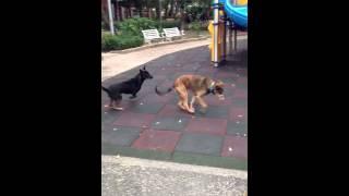 台湾ではどこへ行っても野良犬がいます なぜかもれなくこのサイズで黒い...