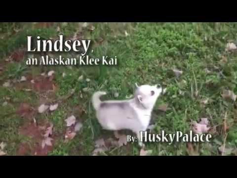 Lindsey, an Alaskan Klee Kai
