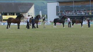 Cobiau Cymreig - Pencampwriaeth Gwryw | Welsh Cobs - Male Championship
