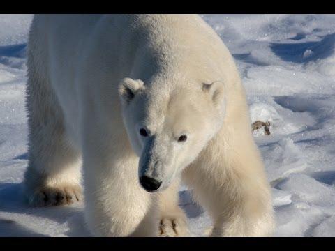 Polar Bears - Three Days of Adventure