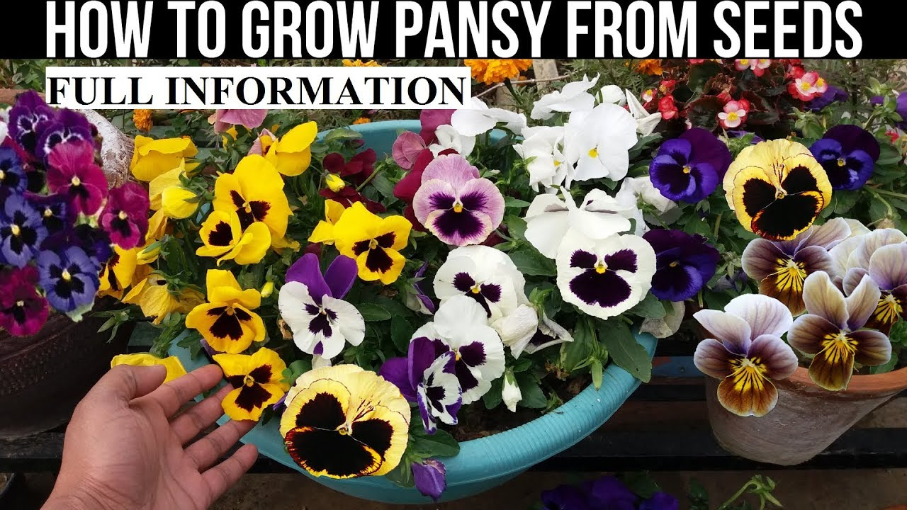 How To Grow Pansy From Seed With Full Updates Youtube
