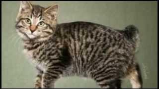 Кошки породы американский бобтейл   здоровые и сильные  активные и жизнерадостные