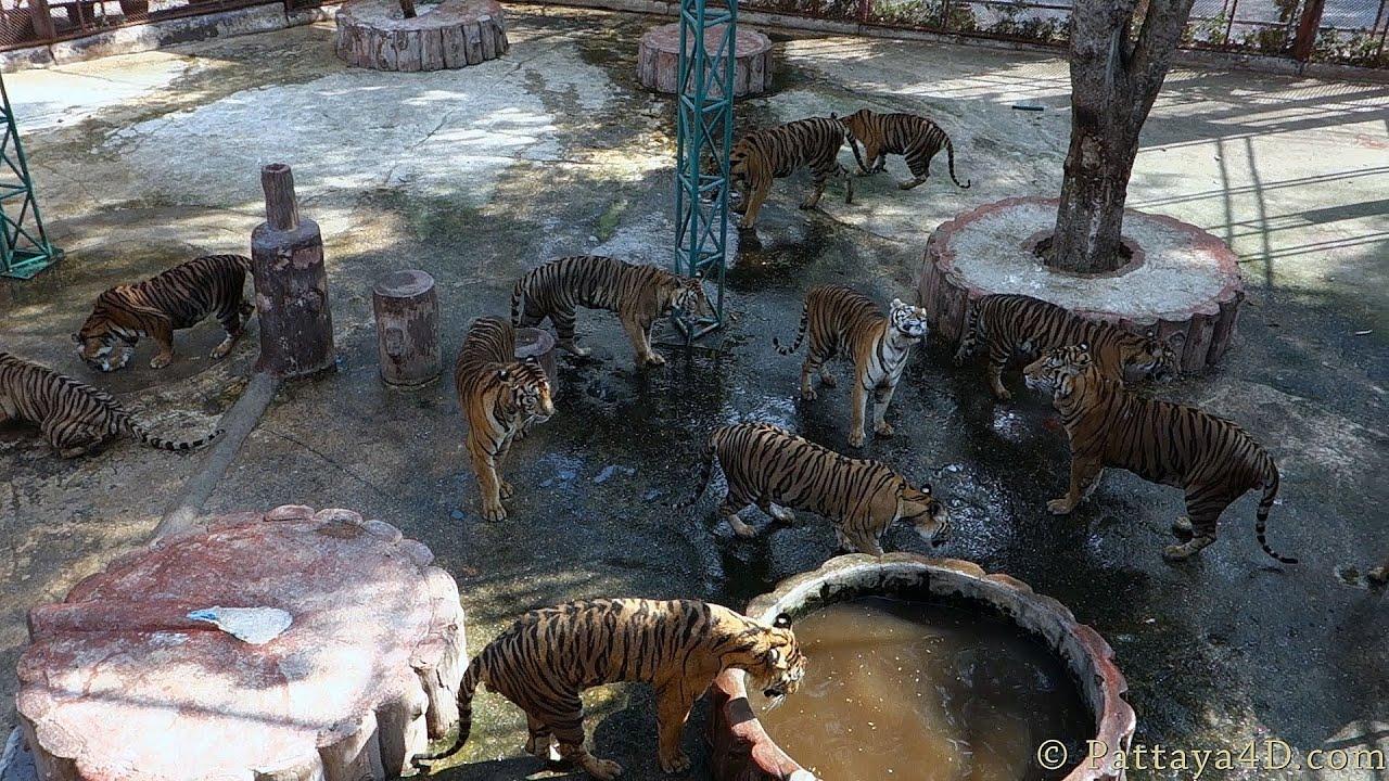 Pattaya Attractions Sriracha Tiger Zoo Impressions - YouTube