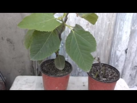 Care Of Fig Trees In Containers | Growing Figs In Containers | Pruning Fig Tree (Urdu/Hindi)