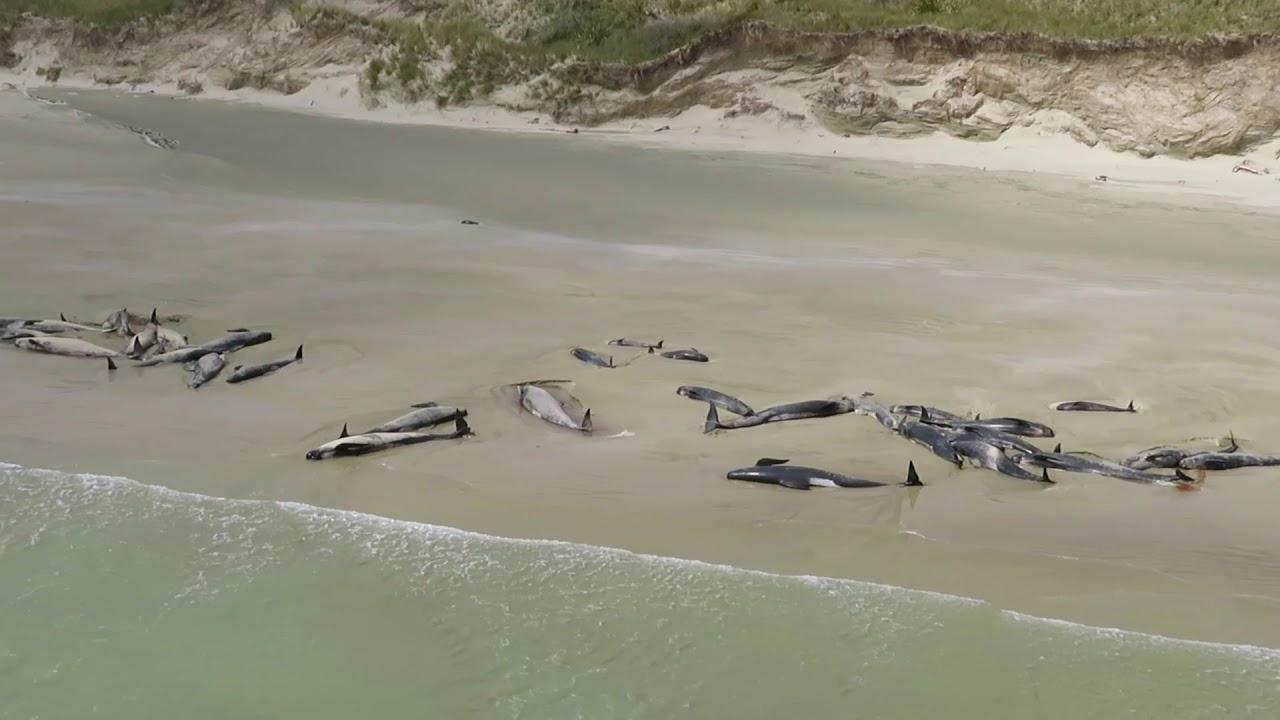 145 китови починале, откако се насукале на плажа во Нов Зеланд