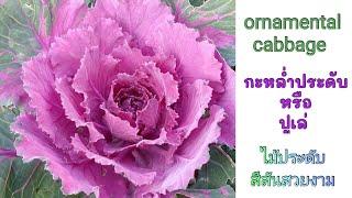 ปูเล่ หรือ กะหล่ำประดับ (ornamental cabbage) - เริ่มตั้งแต่เพาะเมล็ดจนถึงใบเปลี่ยนสี - (20 Sep. 20)