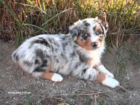 Australian Shepherd Black Merle Picture Collection And