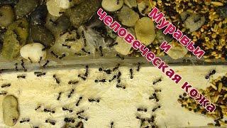 Едят ли муравьи человеческую кожу?