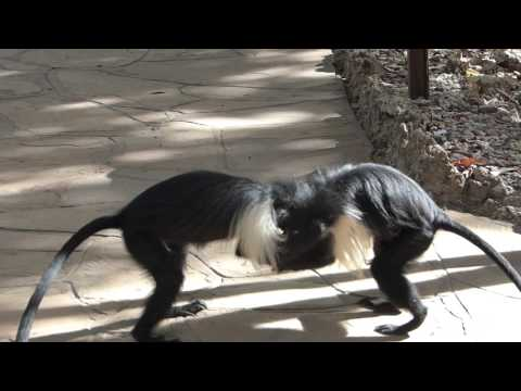 Colobus monkeys playing/fighting