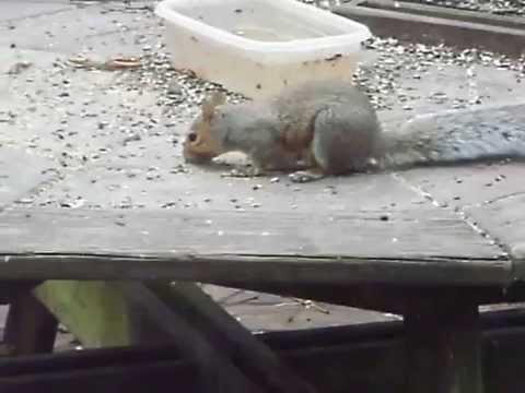 Eastern gray squirrel (Sciurus carolinensis)  late to lunch