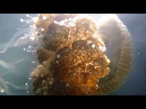 Australian Spotted Jellyfish Invade San Diego Bay - Summer of 2016