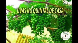 Colha boas uvas plantadas no quintal de sua casa – Cuidados básicos
