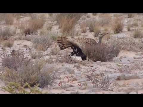 Wild Houbara Bustard near Safia reserve, Oued Dahab, Morocco