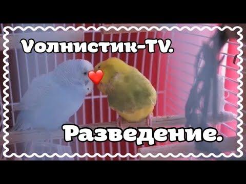 Разведение попугаев. Можно ли разводить дома. Пара волнистых попугаев