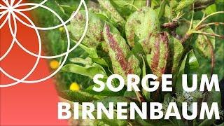 Sorge um Birnenbaum - Wer kennt diese Krankheit?