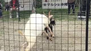 闘ヤギ🌟西原牧場🐐 thumbnail