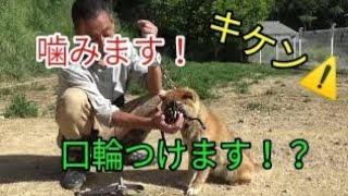 【関連動画】 噛む犬に口輪を付ける方法!マズルトレーニング https://y...