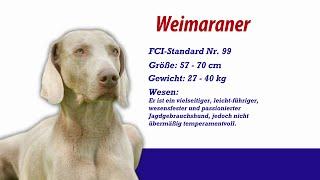 Weimaraner - Meister Petz Tv Rasseportrait Mpt 143