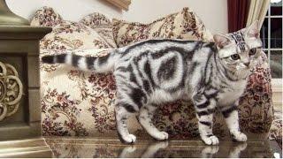 Американская Короткошерстная, Породы кошек, описание, уход