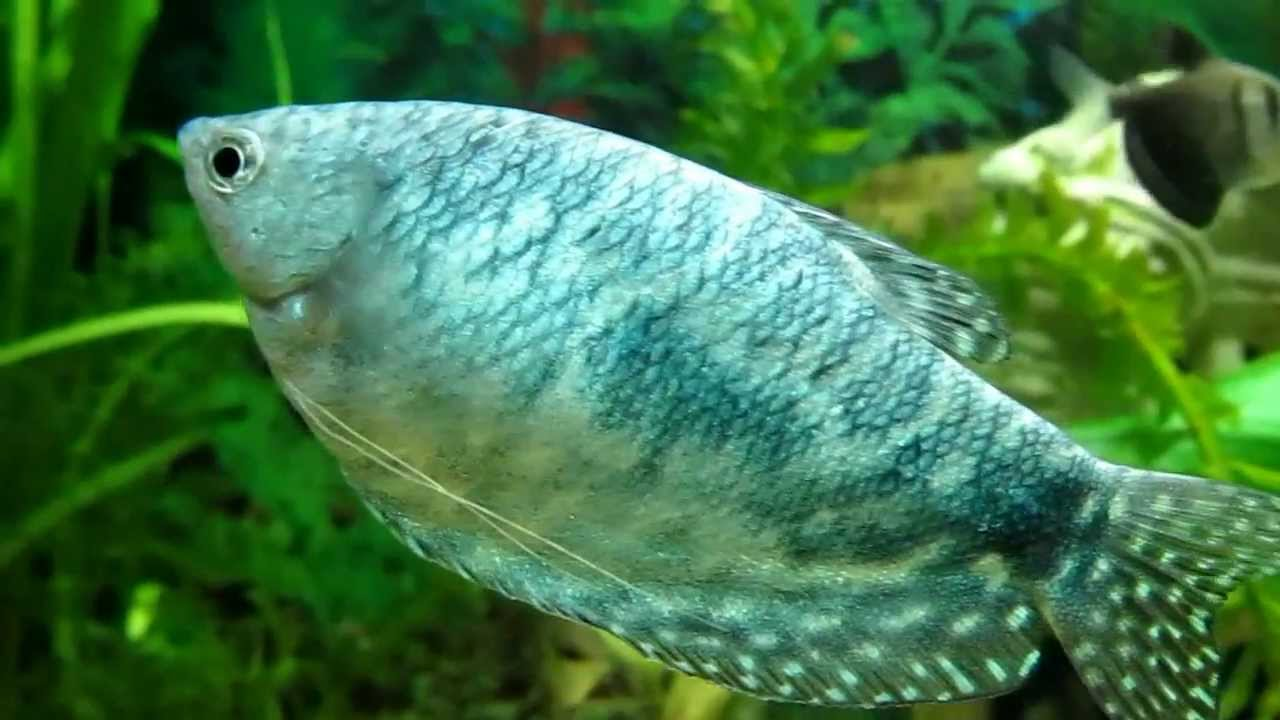 032ea36cd7d0b7 Гурамі мармуровий опис рибки, фото, відео, зміст, розведення, продаж, купити