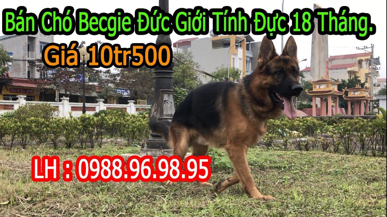 Ms 188 Chó Becgie Đức Thuần Chủng, Giới Tính Đực 18 Tháng, German shepherd dog