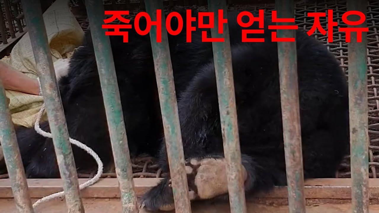사육곰 도살 현장 / 동물자유연대