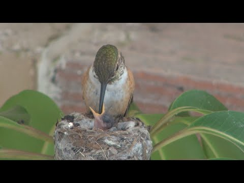Baby hummingbirds life cycle from start to finish. Must see! Awesome!