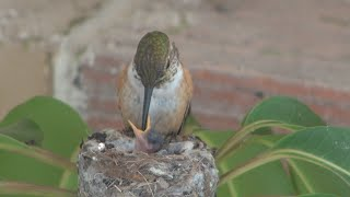 Baby hummingbirds life cycle from start to finish Must see Awesome