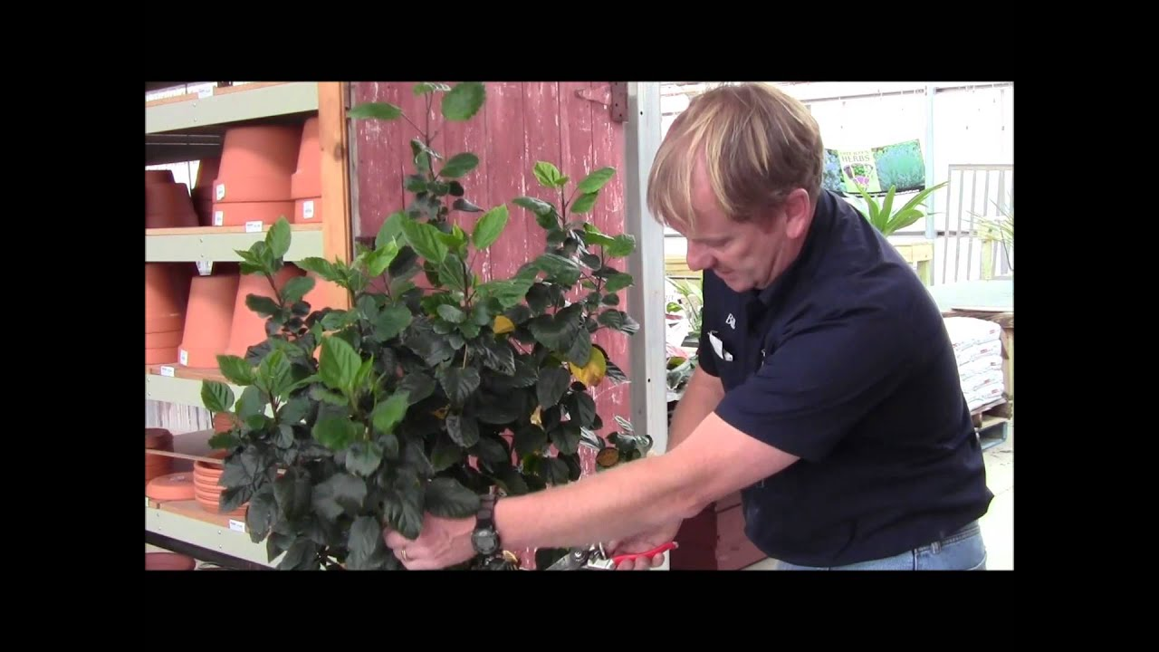 Trimming And Treating Your Hibiscus Youtube
