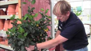 Trimming and Treating Your Hibiscus