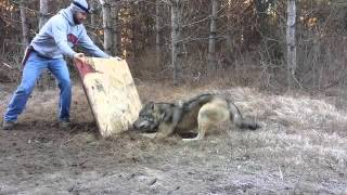Myśliwi uratowali wilka, który złapał się we wnyki