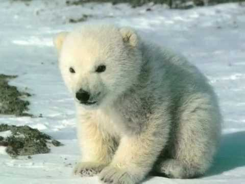 animals arctic polar animal pole north endangered species wildlife mammal pets polor lives animales sea story wild type