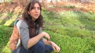 Winter Weeds: Chickweed