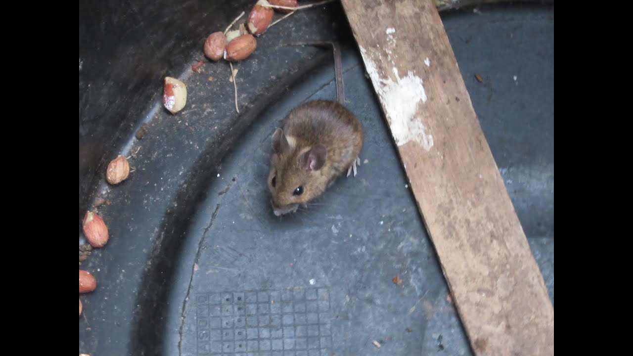 how to catch mice without killing them - YouTube